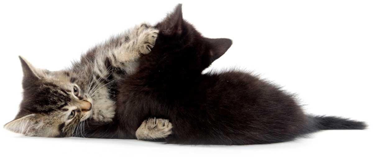 Kitten_Wrestle